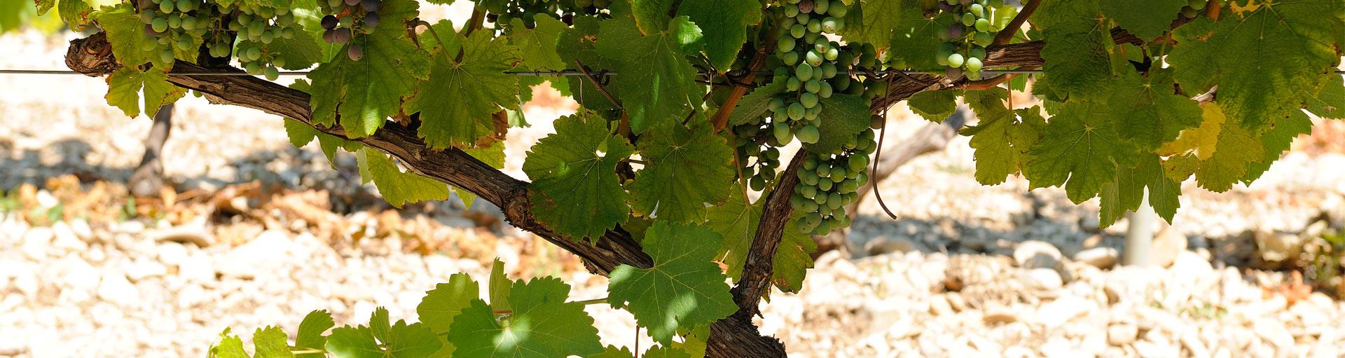 terroir et cépage vins de provence - Plan de dieu - Domaine de l'Odylée